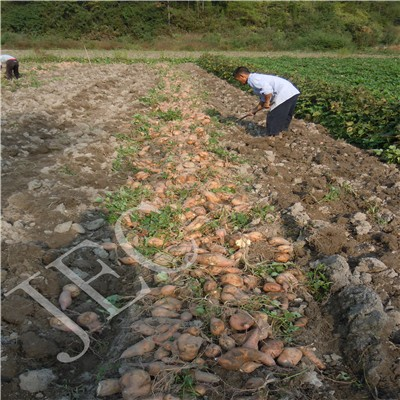 raw yam recipes sweet potato nutrition facts
